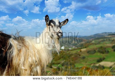 Goat In Mountain