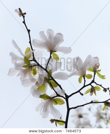 Blossoming Tree Magnolia