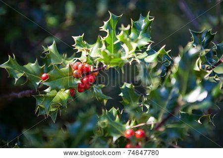 Evergreen Ornamental Holly Tree