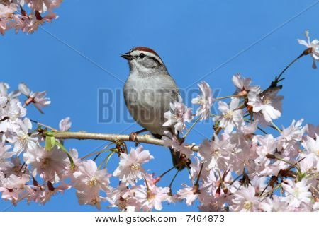 Chipping Sparrow With Cherry Blossoms