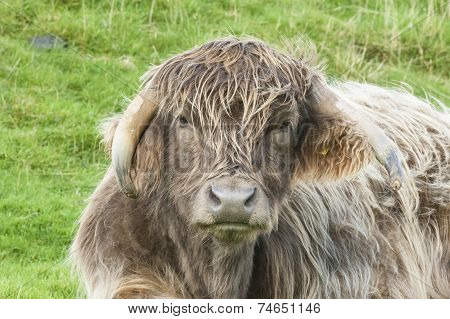 Close Up Of Cross Bred Highland Cow