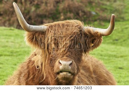 Head Of A Highland Cow