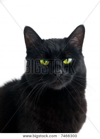 Black Cat Adult Female