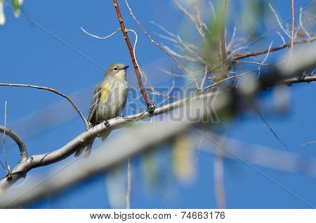Yellow-rumped Warbler Perched In A Tree
