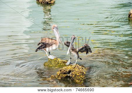 Texas Brown Pelicans