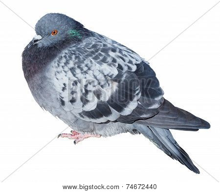 Feral Gray Pigeon