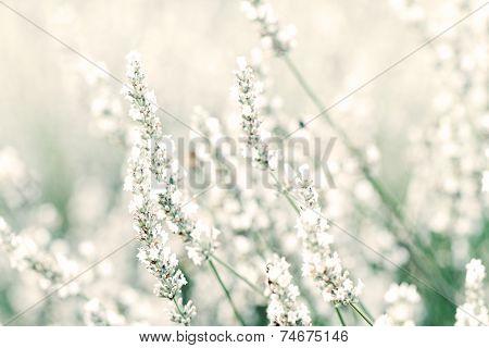 White Lavender Flowers