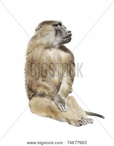 Digital Painting Of Baboon Monkey
