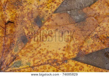 Texture Of A Maple Leaf, Autumn Concept