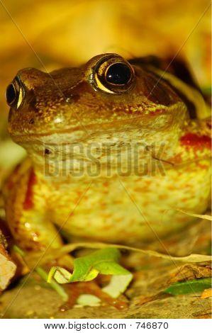 British Garden Toad