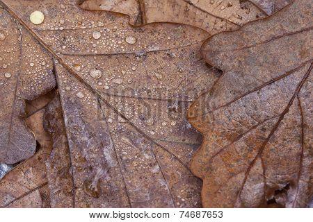 Texture Of Oak Leaves, Autumn Concept