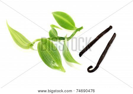 Vanilla Sticks With Fresh Green Vanilla Leaves