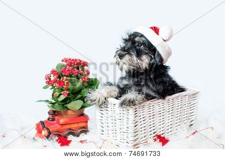 Portrait Of Miniature Schnauzer In Santa Helper Costume
