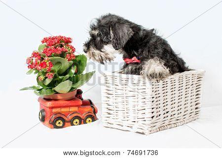Portrait Puppy Miniature Schnauzer Black