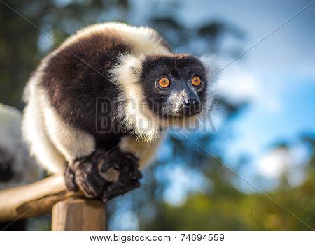 Black-and-white Ruffed Lemur Of Madagascar