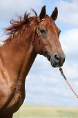 picture of bridle  - Nice Budyonny horse with bridle standing on meadow - JPG