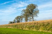 image of zea  - Agricultural landscape with ripe silage maize on a sunny day in the fall season - JPG