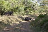 stock photo of cape buffalo  - A mean looking Cape Buffalo blocking the road in Nakuru National Park in Kenya - JPG