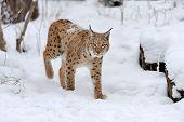 image of sleet  - Beautiful wild lynx on snow - JPG