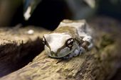 Amazon Milk Frog - Phrynohyas Resinifictrix