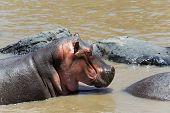 pic of hippopotamus  - Group of hippopotamus  - JPG