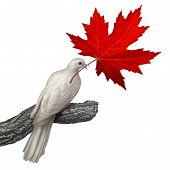 picture of human rights  - Canada peace concept as a white dove holding a red maple leaf on a white background as a symbol for canadian nonviolence and conflict resolution or issues of justice and human rights - JPG