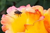 Yellow Rose With Fly