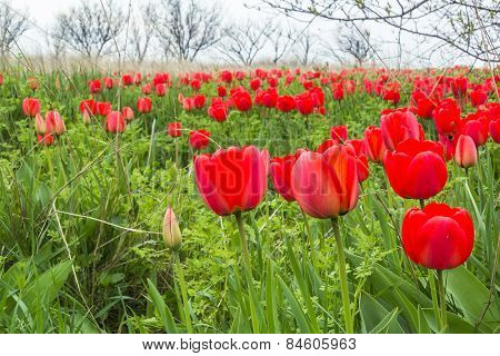 Red Tulips In A Wild Pitch