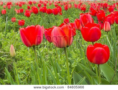 Red Tulips In A Wild Pitch, Close Up