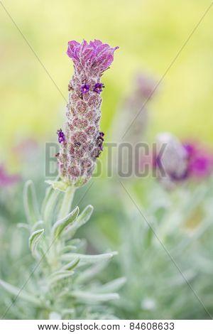 Beautiful Lavandula Stoechas Flower.