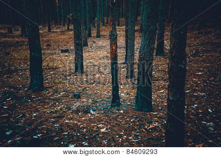 Toned Shot Of Scary Dark Forest With Burnt Tree Trunks