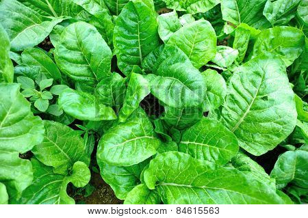 grow in vegetable garden
