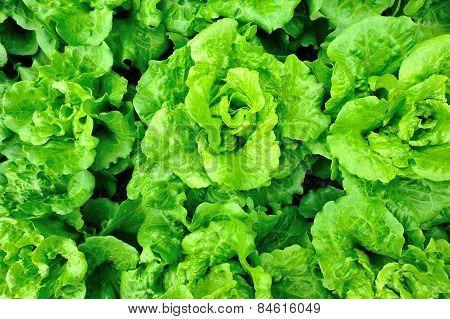 green lettuce crops in growth