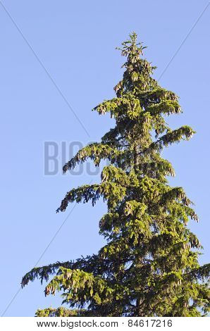 Old Fir Treetop With Cones