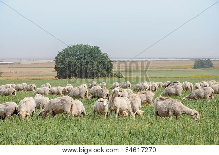 Flock Of Sheep On The Lawns