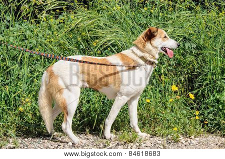 Portrait Of Brown And White Dog Looking Away