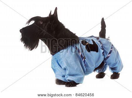 Dressed Scottish Terrier