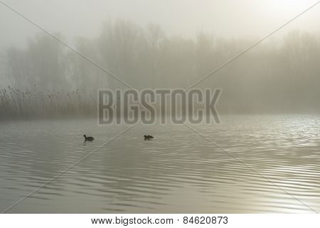 Coot swimming in a misty lake in winter