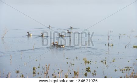 Geese swimming in a foggy lake in sunlight