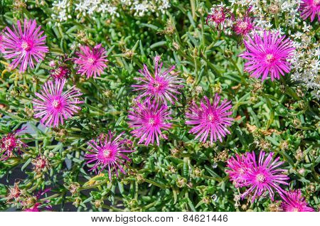 Colorful Pink Aster Flowers
