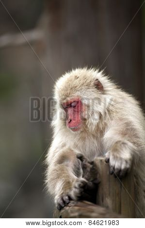 A lone Japanese macaque sits by a onsen in Japan