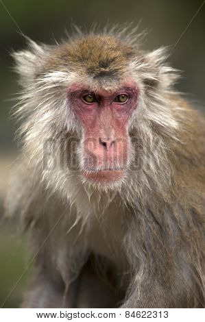 A Japanese macaque looks to see what is happening around him