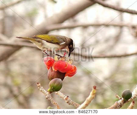 Chinese Bulbul Bird Drinks From Flower