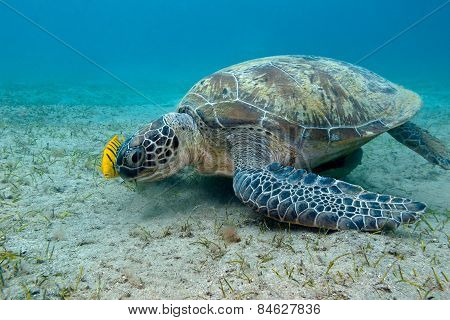 Single Great Sea Turtle In Tropical Sea - Underwater