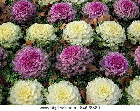 Magenta and vanille decorative cabbage