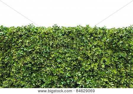 Hedge Of Green Leaves, The Wall Isolated On White Background