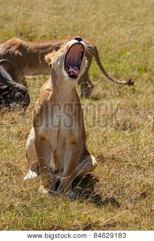 Lioness yawns during light rainstorm Africa