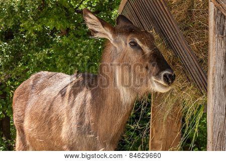 antelope on a background of green