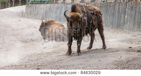 bison with peeling hair