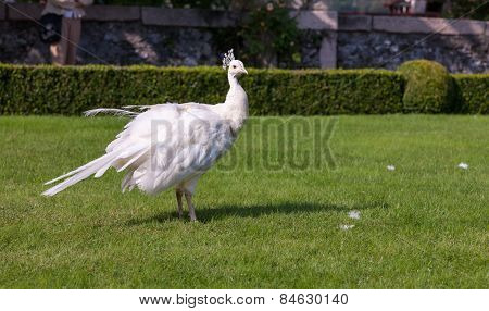 Beautiful and unusual white peacock